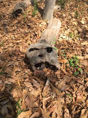 枯れ木に髑髏(誰かに似ている?)済美山自然林