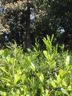チャノキ新芽 観察の森