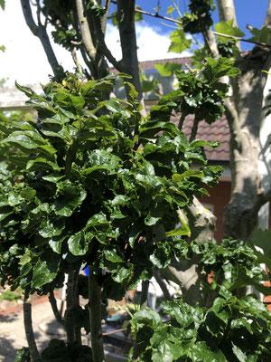 Locken-Esche - Fraxinus excelsior 'Crispa'