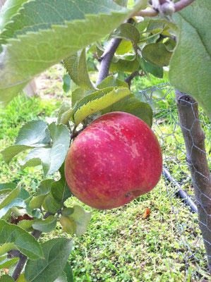 Kultur-Apfel (Malus domestica) 'Jonagold'