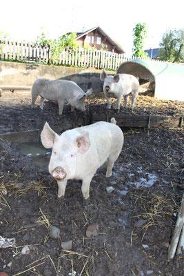 glückliche Schweine vom petershof-kärselen in Uebeschi bei Thun
