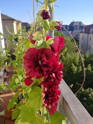 Ist der Allium verblüht, braucht es einen neuen Blickfang - alles überragend wartet die Stockrose mit ihren plüschigen Blüten auf.