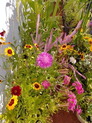 Anfang Juli eröffnet sich dann diese Blütenpracht. Auch jetzt stehen noch genügend Blümchen in den Startlöchern, so dass noch bis in den September hinein alles schön bunt bleibt.