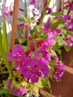 Wenn der Allium verblüht ist, dann ist die Zeit der Mandelröschen gekommen, sie säen sich zuverlässig selbst aus und bereichern den Blumenbalkon mit ihren filigranen rosa Blüten.