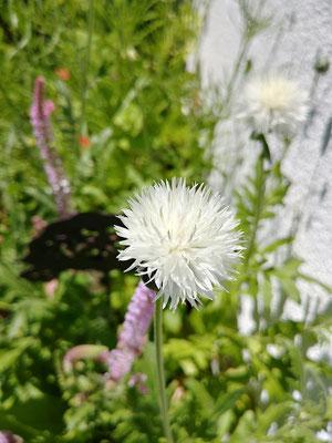 Nicht nur hübsch, sondern auch nützlich: Einjährige Flockenblumen in weiß und rosa ziehen vor allem Hummeln in ihren Bann.