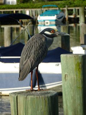 Blue Heron in Midnight Cove II Lagoon Siesta Key
