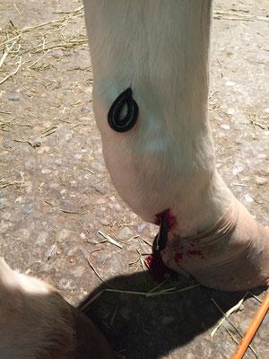 Durch die Gallen sind die Beine - vom Fesselgelenk an aufwärts - stark geschwollen