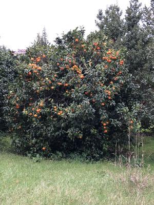 Ein Baum in Elias und Antonios riesen Garten
