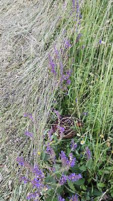 Glück gehabt! Der helle Streifen ist gemäht! Trotz verblenden, durch den Bauern, noch zwei Kitze gefunden!