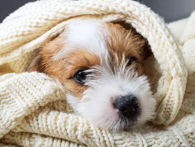 Jack Russell Terrier Welpe in Decke eingekuschelt