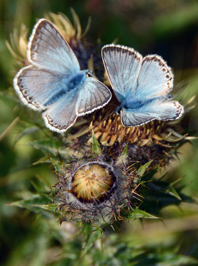 Male and female Chalk Hill Blues (Polyommatus coridon) on a thistlehead, SWindmill Down, South Foreland, St Margarets Bay, Kent.