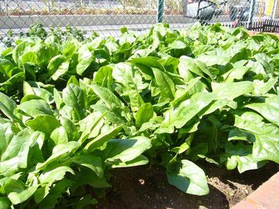 実験菜園のホウレンソウ、生ごみ堆肥で育てています。