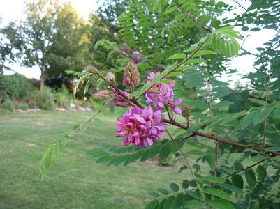 des fleurs roses typiques des robiniers forment des pompons