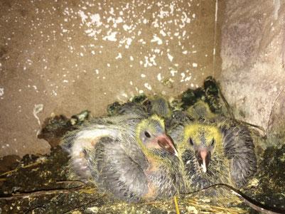 Überraschungsküken im Nest