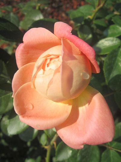 Rose aus dem Rosarium Baden NÖ