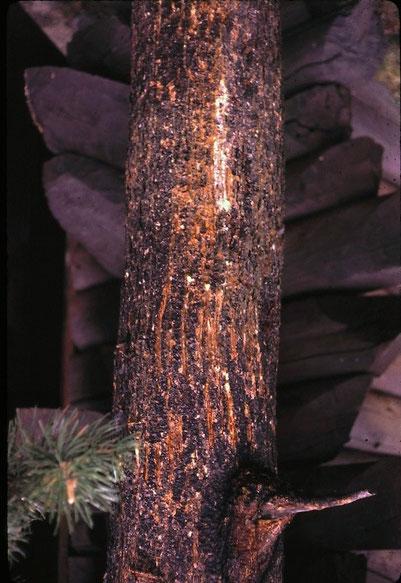 """""""Bärenbaum"""" mit deutlichen Kratzspuren (Grand Teton National Park, USA)"""