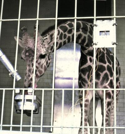 """Mit dem Drücken der Metallplatte (ev. in einer bestimmten Anzahl Mal) löst die Giraffe die Futtergabe (= """"reinforcement"""") aus. Sie kehrt dann sogleich wieder mit der Schnauze zur Metallplatte zurück und drückt erneut."""