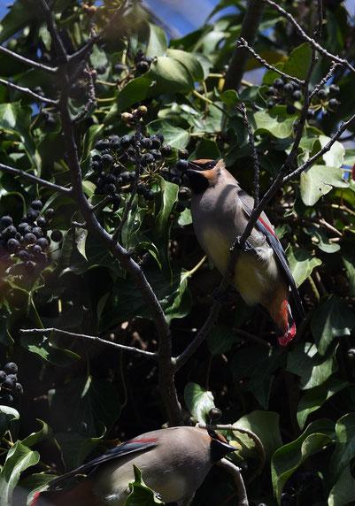 ●木蔦(きづた)の実を啄むヒレンジャク
