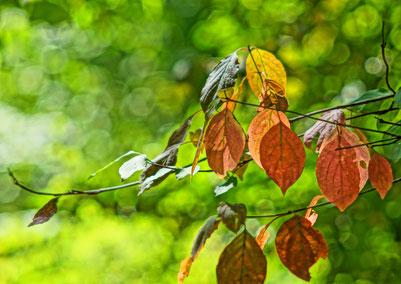 красные листья - природа в осеннюю пору