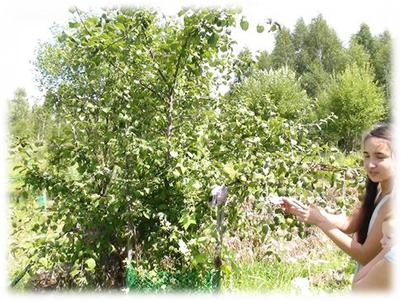 野蘋果樹現在滋味甚好