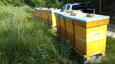 Unsere Bienenvölker freuen sich auf Waldhonig aus dem Kobernaußerwald - wir auch :-)