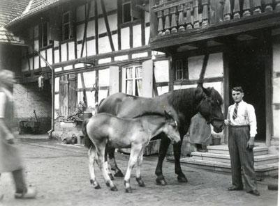 """""""A l'Ancien Moulin"""" dans les années 1950 - Une ferme vivant de l'élevage"""