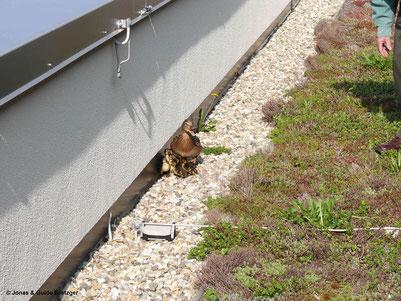 Entenfamilie auf einem Flachdach in Aalen