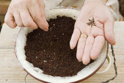 コランダーに土を入れて、種をまく