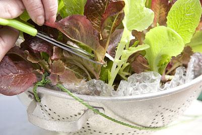 ハサミで収穫されるレタスミックス
