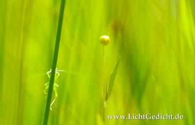 Bild 4: Hüpfer (Tettigonia viridissima) und Hahnenfuß (Ranunculus), Nikon F 100, Nikkor 2.8/105mm Micro, Kodak Elite Chrome 100 Extra Colour