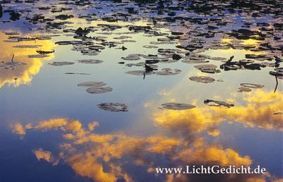 Bild 6: Seerosenblätter (Nymphaea) im Abendlicht, Nikon F 100, Nikkor 2.8/80-200mm, Kodak Elite Chrome 100 Extra Colour