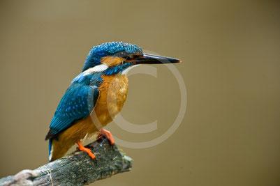 Biber, Naturschutz, Naturschützer, Eisvogel, Habitat
