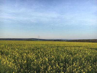 Rapsanbau Rapsblüte Agrar Vorharz
