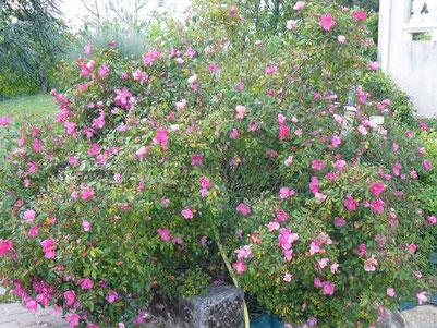 Producteur de rosier buisson dans le 47 vente par correspondance roseraie da ros - Quand tailler les rosiers buisson ...