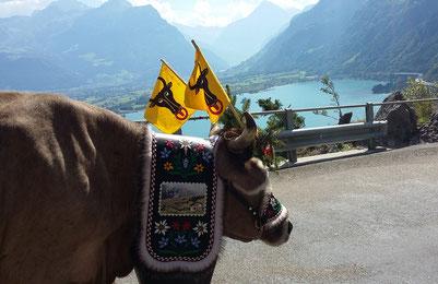 Kuh auf Alpabfahrt
