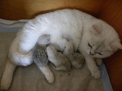 Bella mit ihren 3 Kitten, einen Tag alt (Foto: am 7.3.2015)