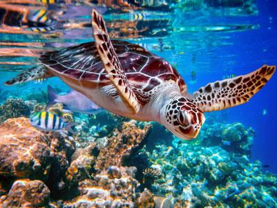 Zeeschildpad op zoek naar voedsel voor de kust van de Gili eilanden Lombok