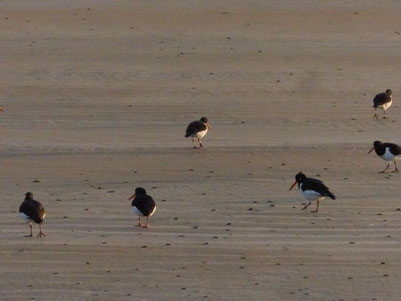 6 Austernfischer, Schlick, Strand, ©Claudia Dorka