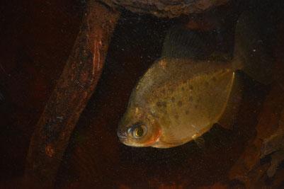 Metynnis cf. maculatus