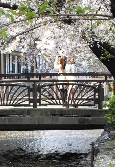 Toujuors les sakuras au bord du Canal Takasegawa