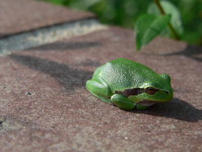Ein Laubfrosch auf der Gartenmauer