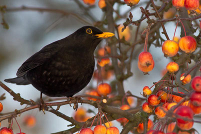 chants cris oiseaux merle noir
