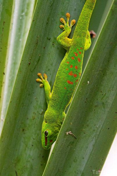 fiche animaux gecko