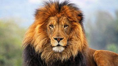 cri rugissement lion animaux