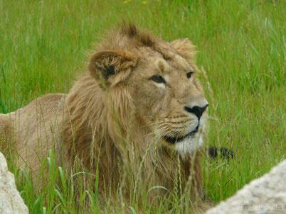 lion asie contre lion afrique