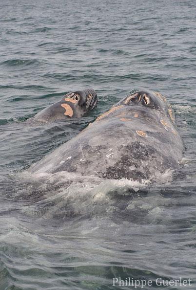 fiches animaux baleine et baleineau