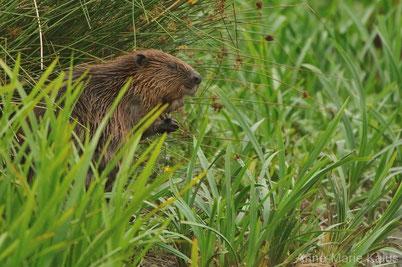 fiche castor fact beaver
