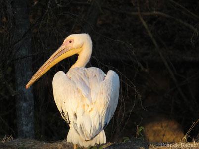 cri chant pelican blanc oiseaux
