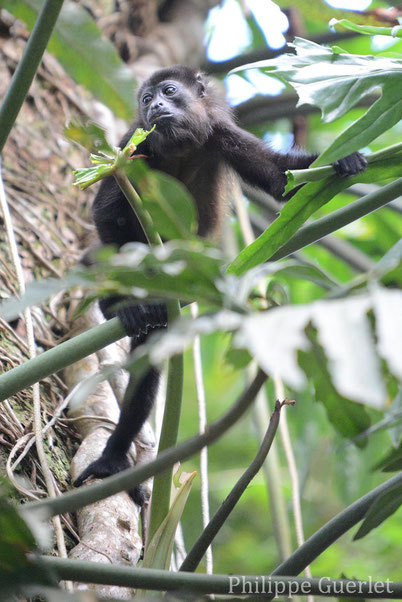 fiche animaux singe hurleur