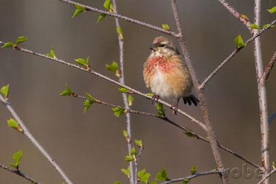 chant cri linotte melodieuse oiseaux